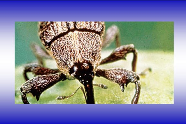 After years of challenges, boll weevil eradication program making progress